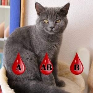 Blutgruppen bei BKH Katzen