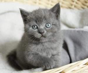 Britisch Kurzhaar Baby