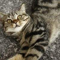 Wie und warum schnurren Katzen?
